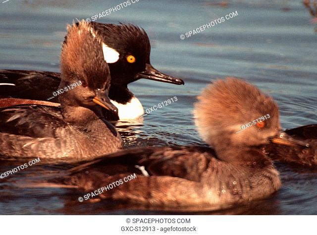 01/25/1999 -- A male and two female hooded mergansers swim in the waters of the Merritt Island National Wildlife Refuge at Kennedy Space Center