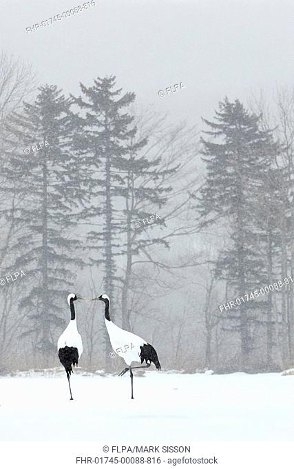 Japanese Red-crowned Crane (Grus japonensis) adult pair, standing in snow during snowfall, Hokkaido, Japan, February