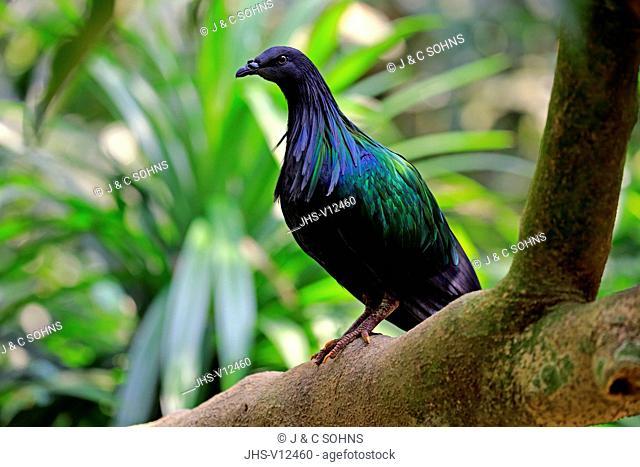 Nicobar Pigeon, (Caloenas nicobarica), adult on tree, captive, Singapore, Asia