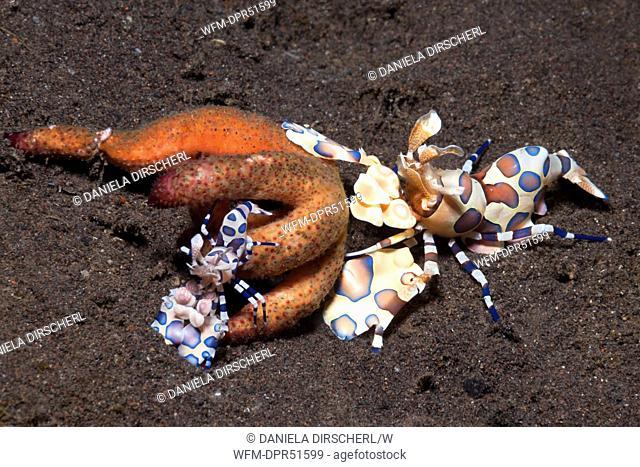 Pair of Harlekin Shrimps feeding on Starfish, Hymenoceras elegans, Alam Batu, Bali, Indonesia