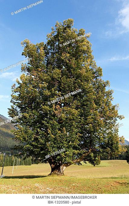 Large-leaved Linden (Tilia platyphyllos), Bodental Valley, Carinthia, Austria, Europe
