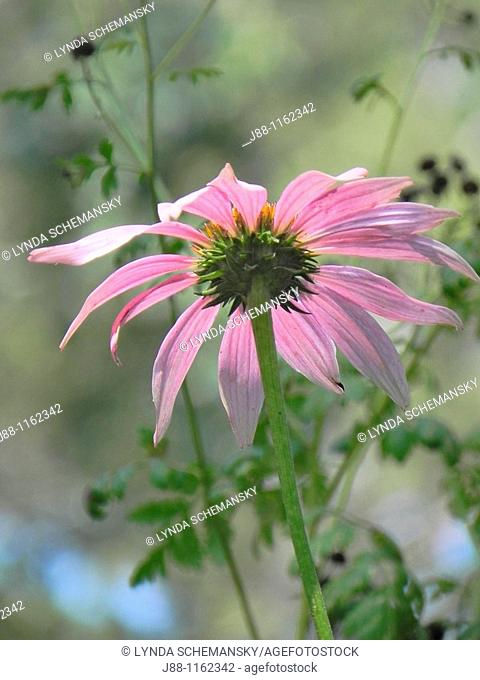 Coneflower Echinacea purpurea in a meadow viewd from below
