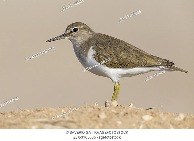 Common Sandpiper (Actitis hypoleucos), Standing on the ground, Taqah, Dhofar, Oman