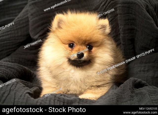 Cute Pomeranian (Dwarf Spitz) puppy