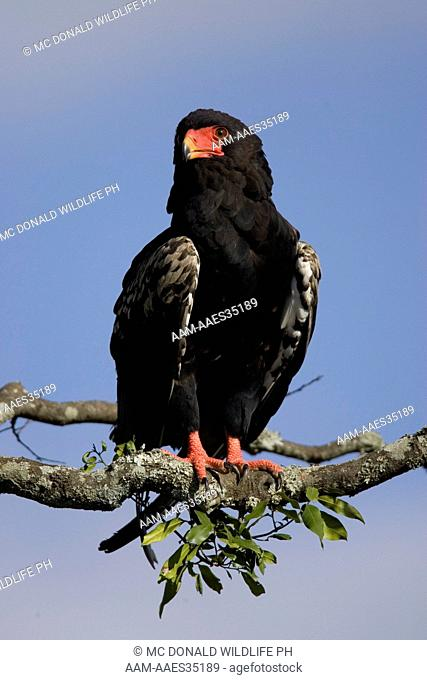 Bateleur Eagle (Terathopius ecaudatus) Adult perched on acacia tree in the Masai Mara Game Reserve, Kenya 11/29/2004