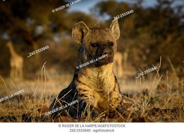 Spotted hyena, also known as the laughing hyena (Crocuta crocuta) with South African giraffe (Giraffa camelopardalis giraffa) watching it