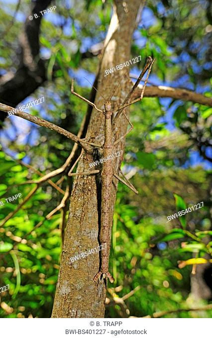 walking stick (Phasmatidae, Phasmida), at a tree trunk, view from above, New Caledonia, Ile des Pins