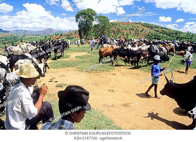 zebu market at Ambalavao, Central Highlands, Republic of Madagascar, Indian Ocean