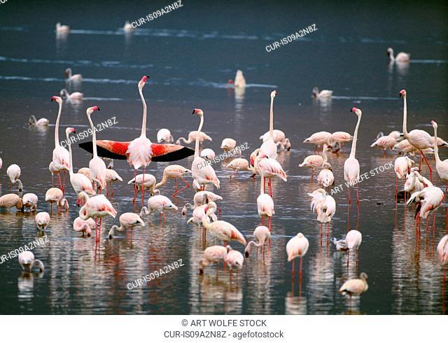 Greater and lesser flamingos, Rift Valley region, Kenya