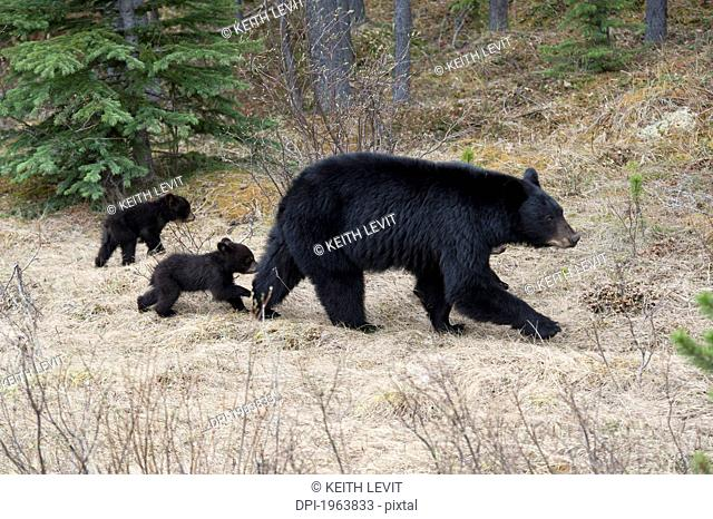 two black bear cubs following their mother in jasper national park, alberta, canada