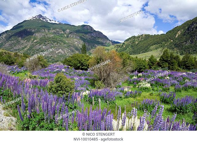 Flower meadow, Carretera Austral, Chile, South America