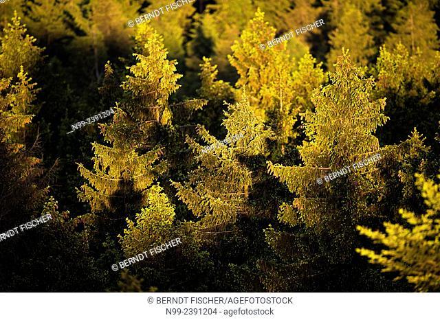 Spruce forest (Picea), Fichtelgebirge, Bavaria, Germany