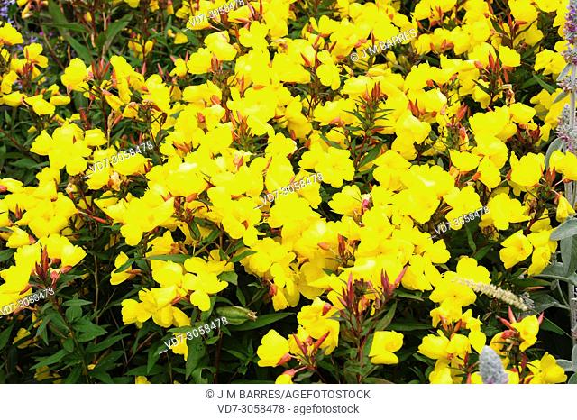 Yellow sundrops (Oenothera tetragona or Oenothera fruticosa) is a perennial herb native to eastern North America. Flowers detail