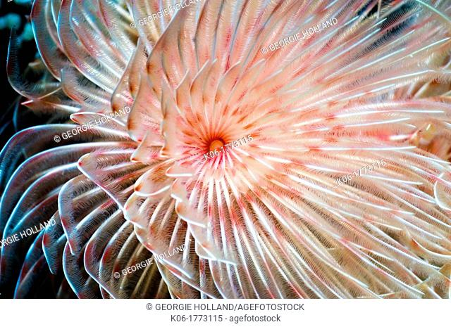 Magnificent tube worm Protula magnifica  Manado, North Sulawesi, Indonesia