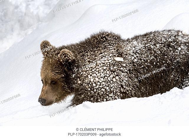 One year old brown bear cub (Ursus arctos arctos) foraging in deep snow in winter