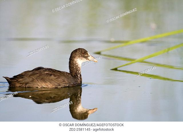 Common Coot (Fulica atra) juvenile on water. Ebro Delta Natural Park. Catalonia. Spain