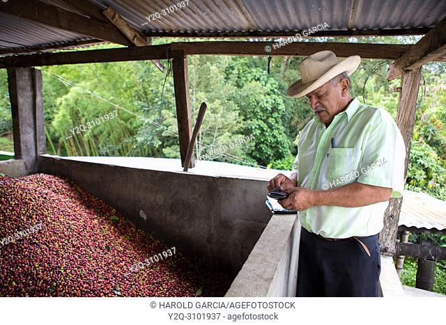 Farm owner next to unload coffee beans collected in a pool to process them in the plantation