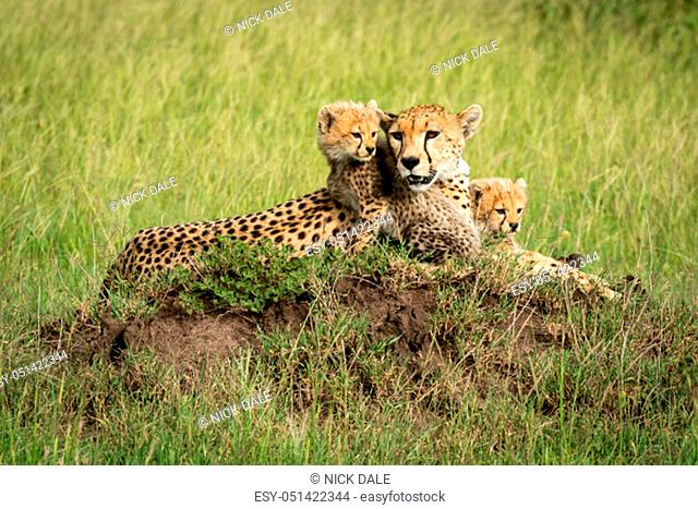 A female cheetah lies on a termite mound in a grassy plain with her two cubs sitting next to her. They all have brown fur covered with black spots but are...