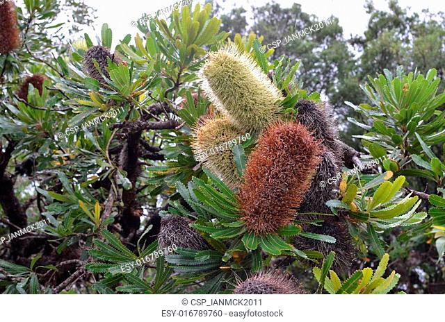 Banksia Integrifolia tree