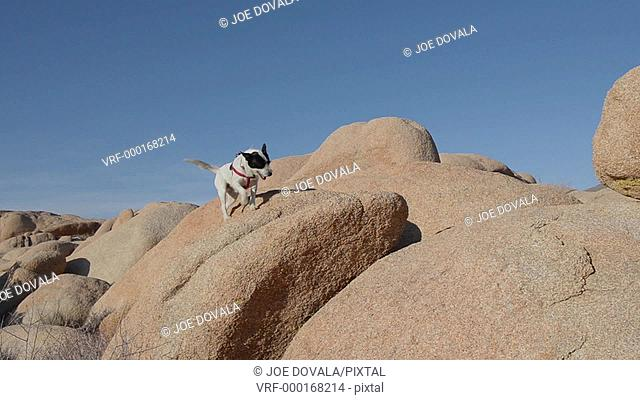 Woman and dog off leash on desert rocks, Joshua Tree National Park, California, USA