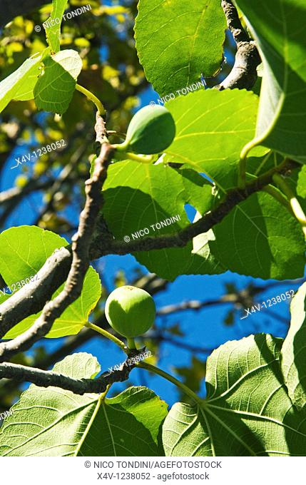 Figs in a branch