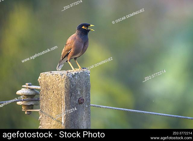 Common Myna (Acridotheres tristis) perched on a pole. Nepal