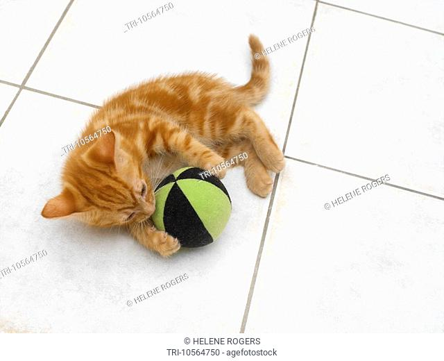 Eight Week Old Ginger Kitten Playing with Ball