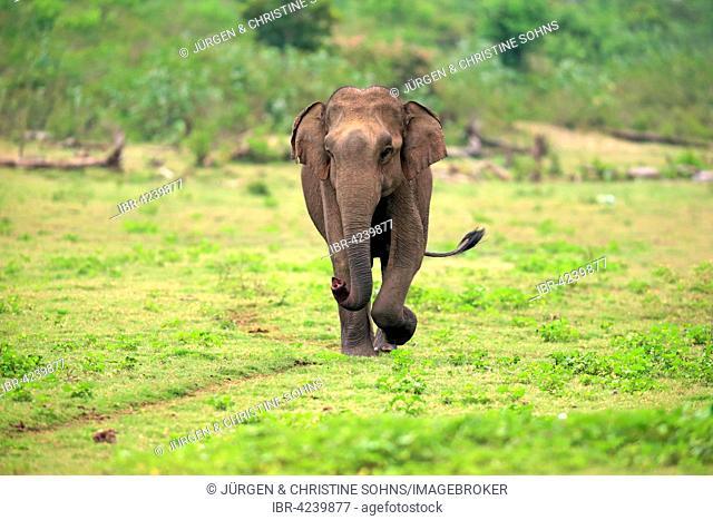 Sri Lankan elephant (Elephas maximus maximus), adult male, smelling, running, Udawalawe National Park, Sri Lanka