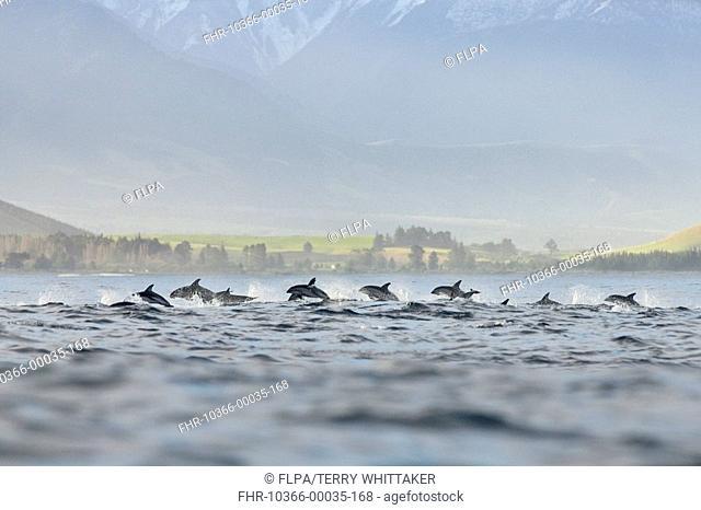Dusky Dolphin Lagenorhynchus obscurus pod, porpoising, Kaikoura, South Island, New Zealand
