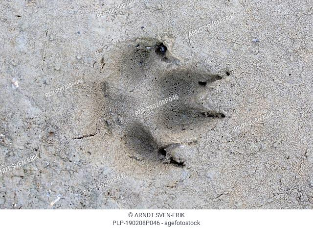 Red fox (Vulpes vulpes) close-up of footprint in wet sand / mud
