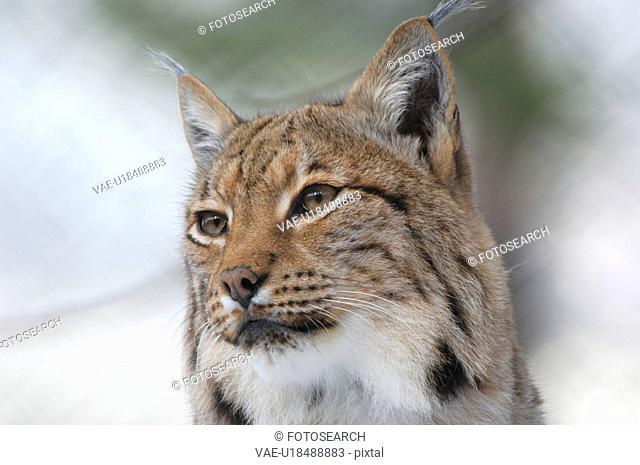 jaeger, animal, animal head, cat, head, hunt, hunting