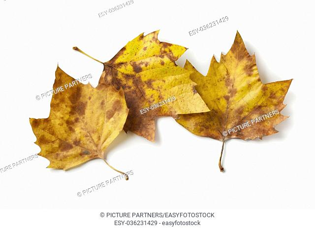 London plane tree leaves in autumn color on white background