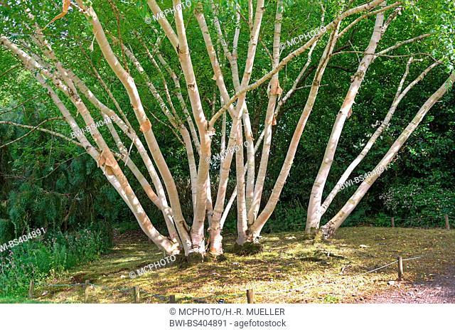 Erman's Birch, Russian Rock Birch (Betula ermanii 'Grayswood Hill', Betula ermanii Grayswood Hill), trunks of cultivar Grayswood Hill, United Kingdom