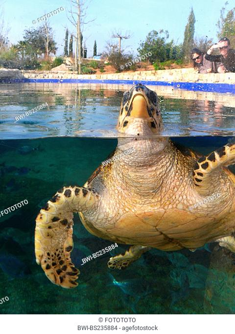 loggerhead sea turtle, loggerhead Caretta caretta, watched by visitors while stretching the head out of the water at the pane of an outdoor aquarium, Spain