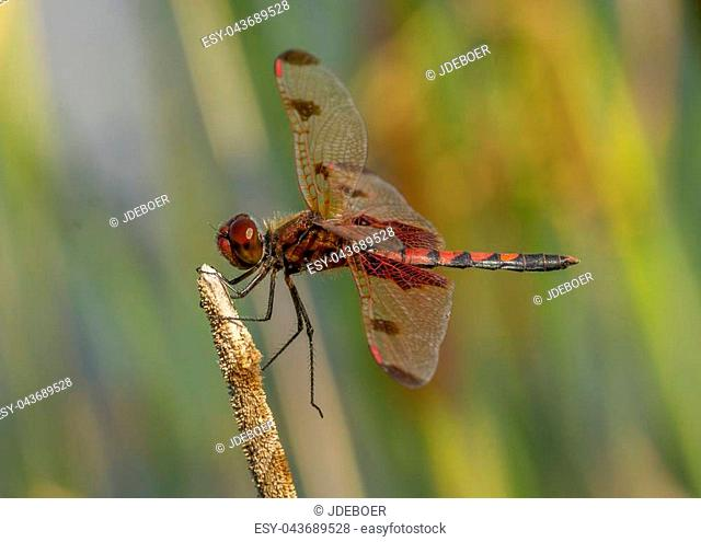 A bright and beautiful male Calico Pennant perches momentarily while hunting for food near a midwestern wetland