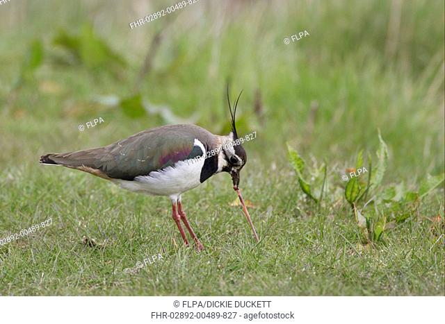 Northern Lapwing Vanellus vanellus adult female, feeding, pulling up earthworm from ground, Cley, Norfolk, England, april