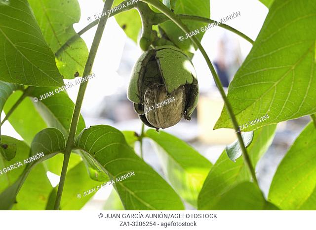 Ripe fruits arise from nutshell on tree. Closeup
