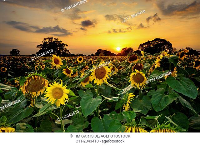 sunflowers in field, East Sussex, England, UK, Europe