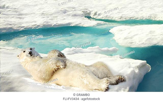 Polar Bear Lying on Back in Snow, Near Churchill, Manitoba