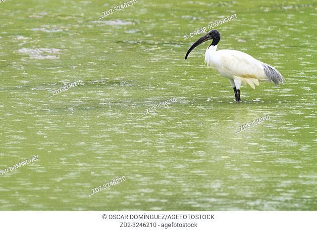 Black-headed Ibis (Threskiornis melanocephalus) standing in water. Keoladeo National Park. Bharatpur. Rajasthan. India
