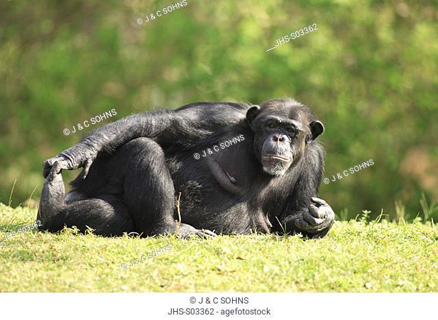 Chimpanzee, Pan troglodytes troglodytes, Africa , adult resting