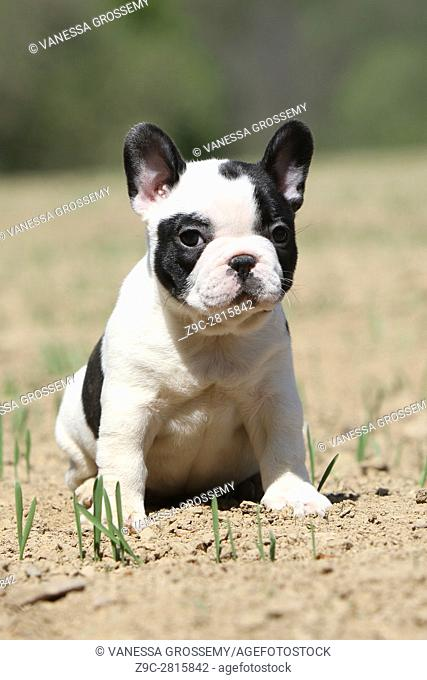 Dog French Bulldog puppy Sitting in the field