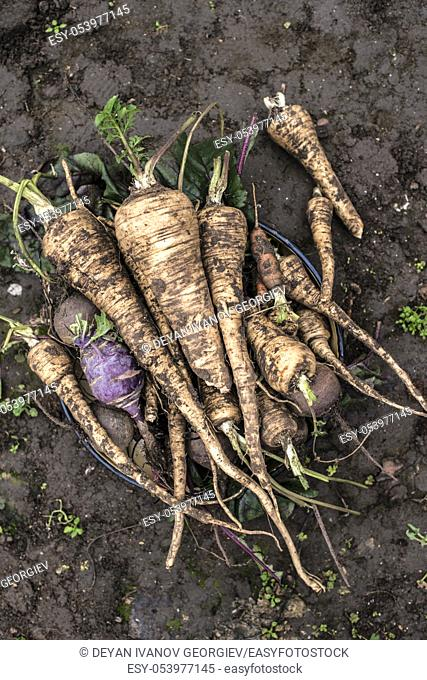 Beets and parsnips in the garden. Roots