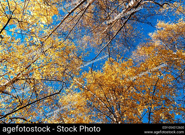 Colorful tree branches in sunny forest, autumn natural background. Looking up