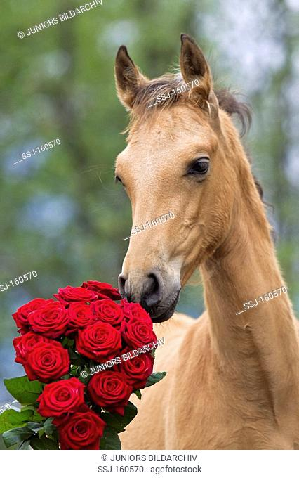 Pure Spanish-bred horse - sniffing at roses