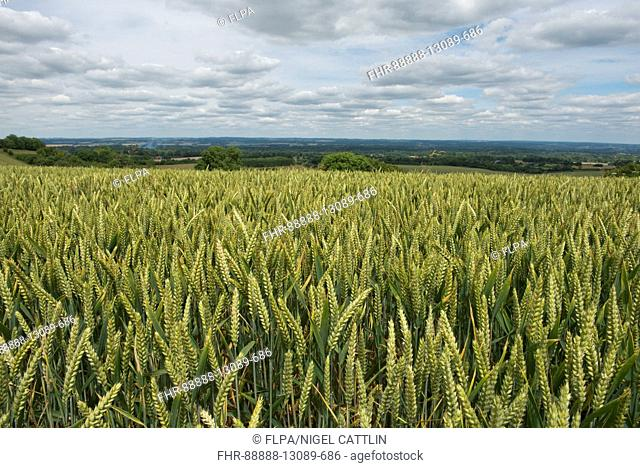Rolling field of winter wheat in green unripe ear on a fine summer day, North Wessex Downs, Berkshire, July