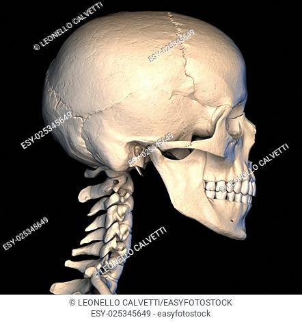 Very detailed and scientifically correct human skull. side view, on black background. Anatomy image