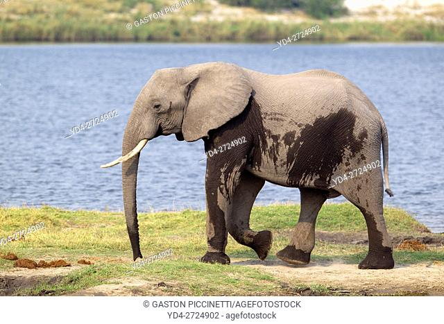 African Elephant (Loxodonta africana), in the river, Chobe National Park, Botswana
