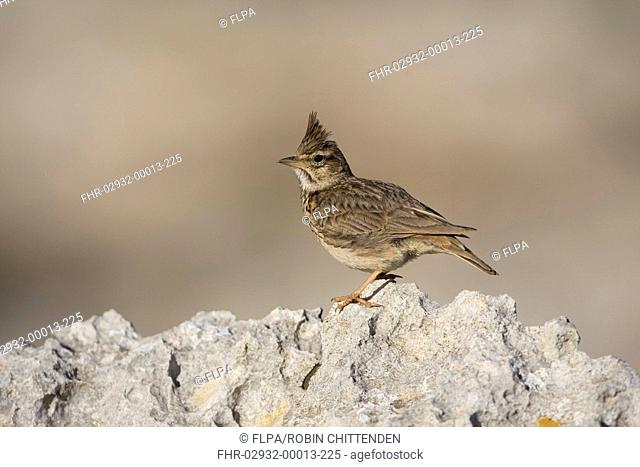 Thekla Lark Galerida theklae adult, standing on rock, Cap de Cavalleria, Minorca, Balearics, Spain, may