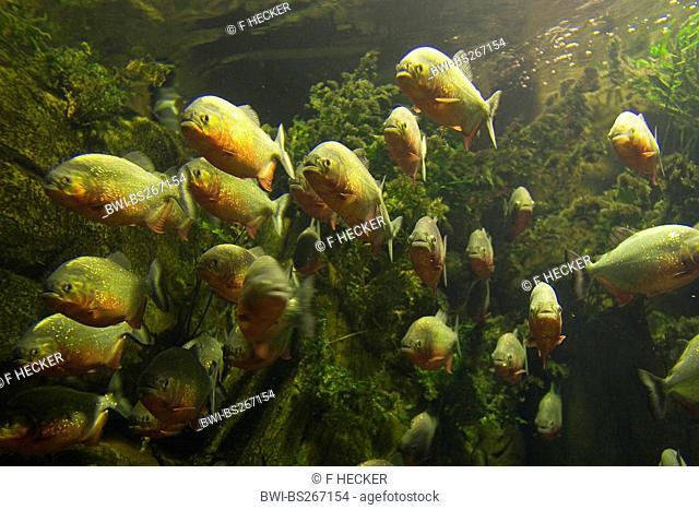 convex-headed piranha, Natterer's piranha, red piranha, red-bellied piranha Serrasalmus nattereri, Pygocentrus nattereri, Rooseveltiella nattereri, shoal
